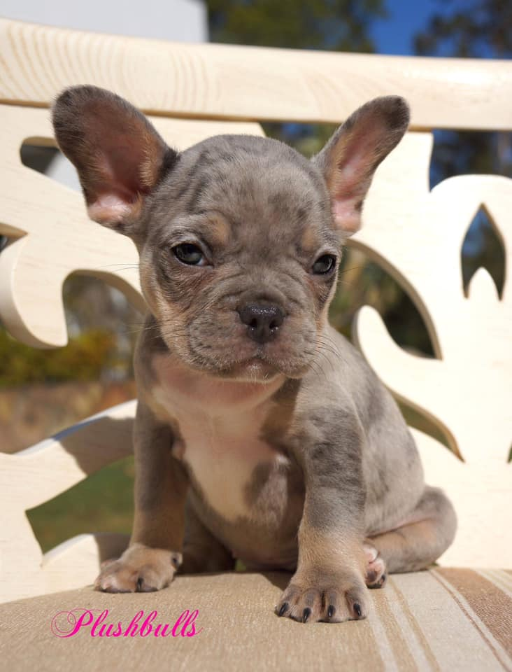 Welcome to PlushBulls  We are breeders of French Bulldogs